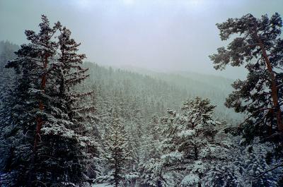 Vanoise, forêt de conifères