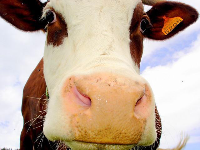 Vache Abondance, qui produit le lait nécessaire à la fabrication du beaufort, reblochon, et de l'Abondance
